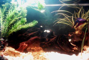 Betta Aquarium Featuring Tamahome