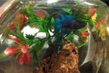 Betta Aquarium Featuring Leon