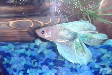 Betta's Name: Aetius - Doubletail