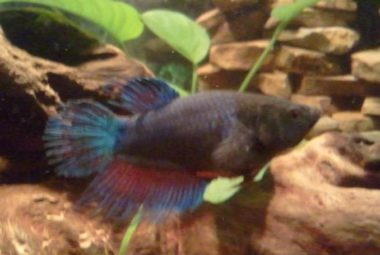 Female Crowntail Betta