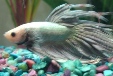 Betta's Name: Metallica