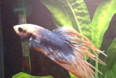 Betta's Name: Picasso