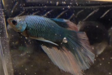 Dark Blue Betta