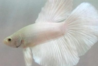 Betta's Name: Triton - Doubletail