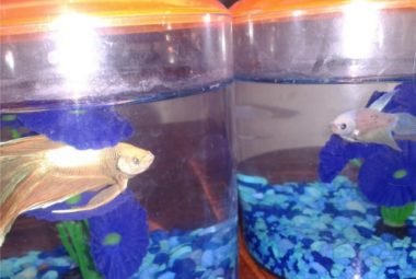 Betta Names: Lucius And Luma