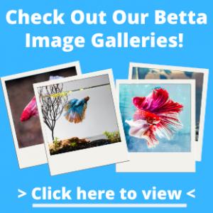 Betta Fish Images
