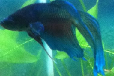 Betta's Name: Flitwick - Veiltail