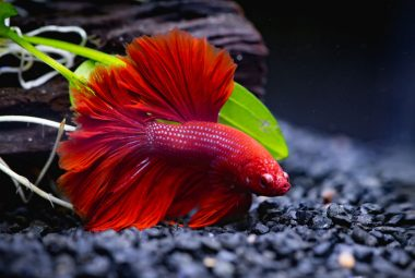 Basic Tips For Breeding Your Betta