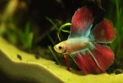 Common Betta Diseases And Recommended Treatments