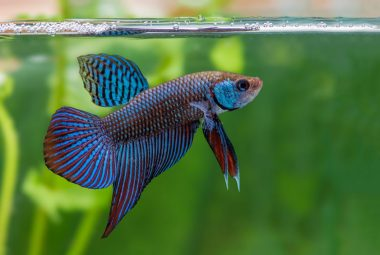 Betta Fish History – From Then Until Now