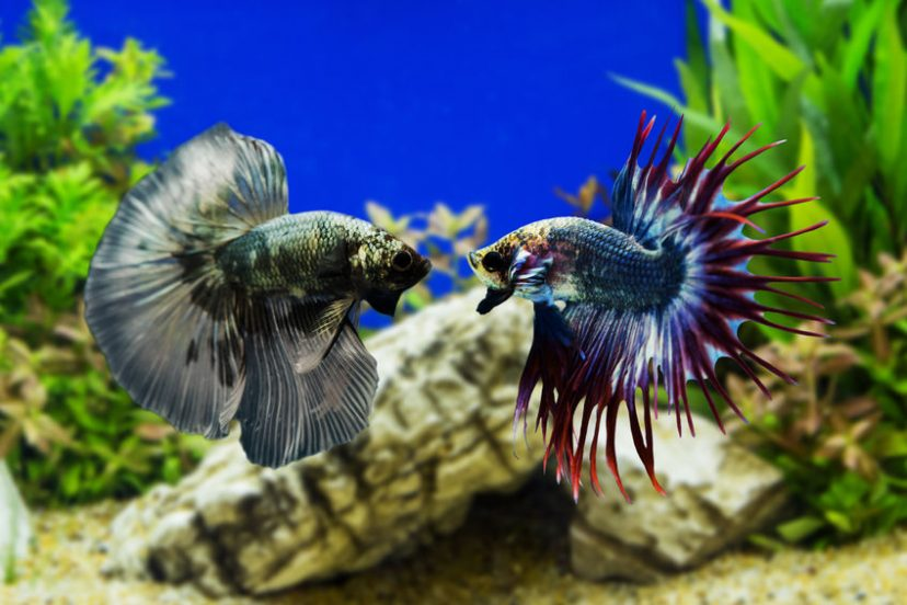 Betta History And Geography