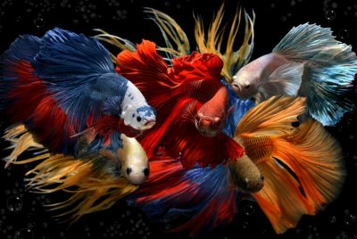Betta Fish - All The Colors Of The Rainbow