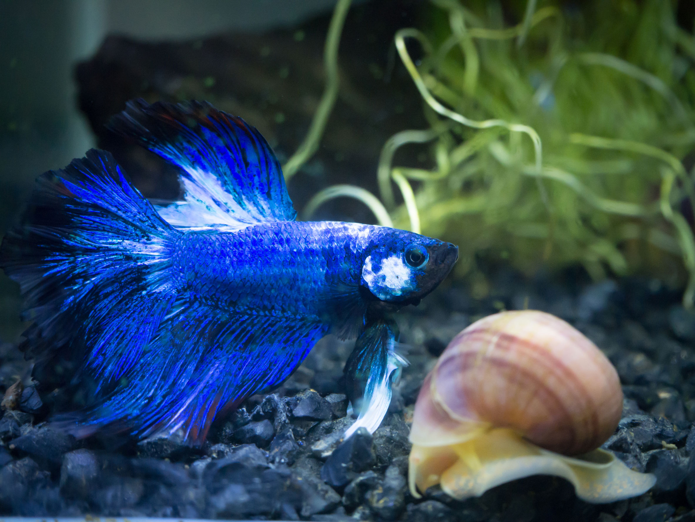 Blue betta swimming next to snail