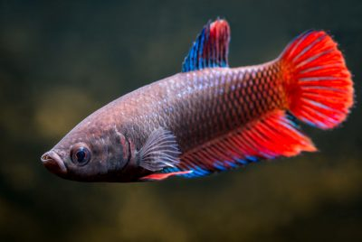 Caring For A Male And Female Betta