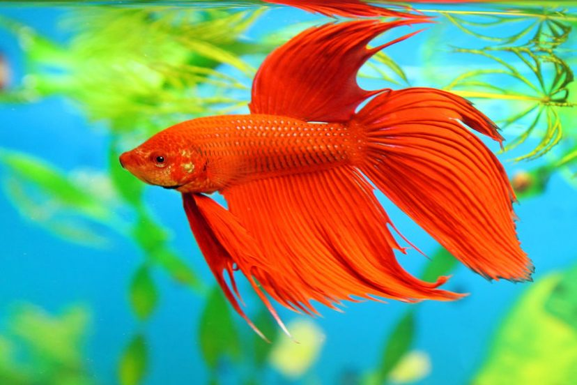 How To Choose A Healthy Betta – Physical Signs Of Distress