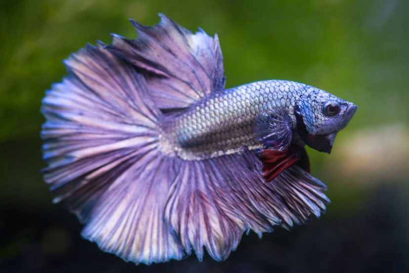 Tips To Maintaining Your Betta's Health
