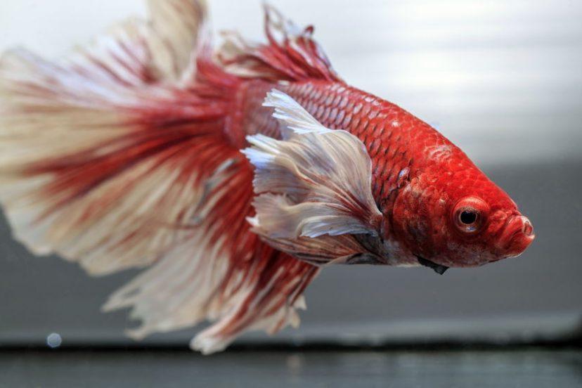 Betta Behavior – Male And Female Betta Fish