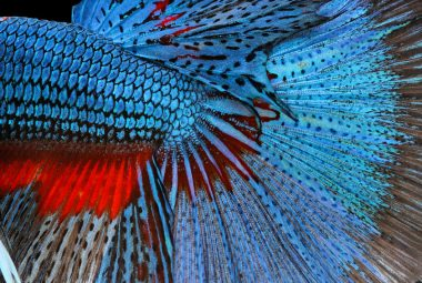 The Modern Day Betta Colors