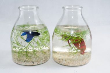 The Problems Associated With Keeping Bettas In Vases