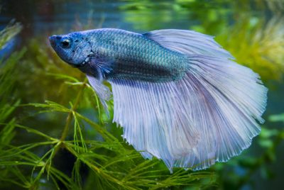 How To Treat Infectious Betta Fish Diseases (Viral)