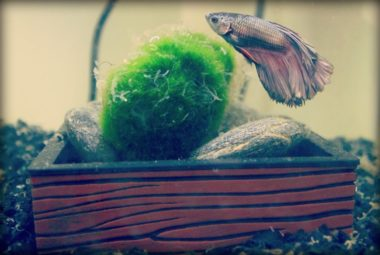 Betta Aquarium Featuring Templeton