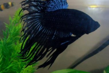 Betta's Name: Batman - Crowntail