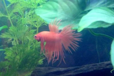 Betta's Name: Dash - Crowntail