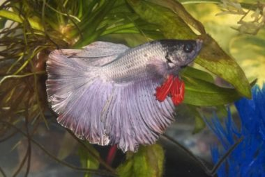 White And Grey Betta