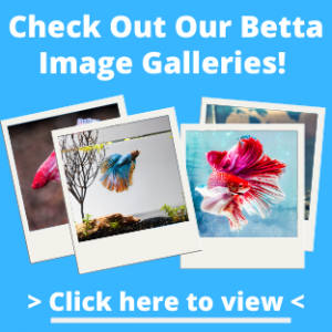 Betta Fish Images