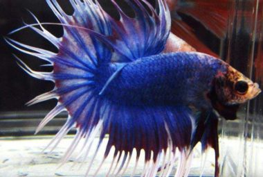 Blue Crowntail Betta