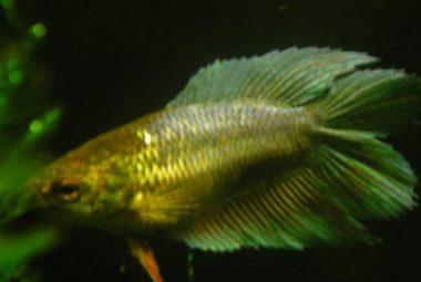Green Female Betta