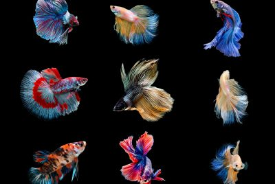Betta Colors