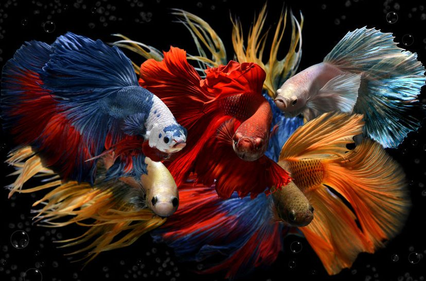 Betta Fish – All The Colors Of The Rainbow
