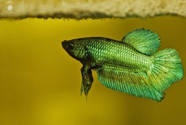 Betta Breeding - Caring For The Fry