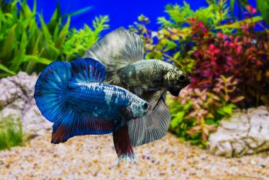 Caring For A Male And Female Betta Fish