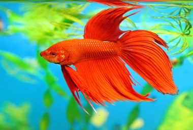 How To Choose A Healthy Betta From The Store - Physical Signs Of Distress