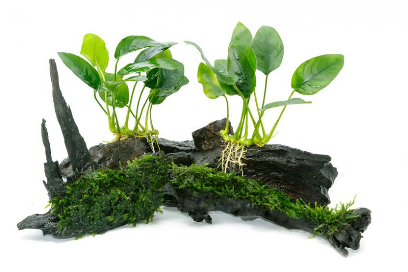Plants For Your Betta Fish