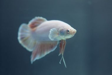 The Ideal Diet For Your Betta