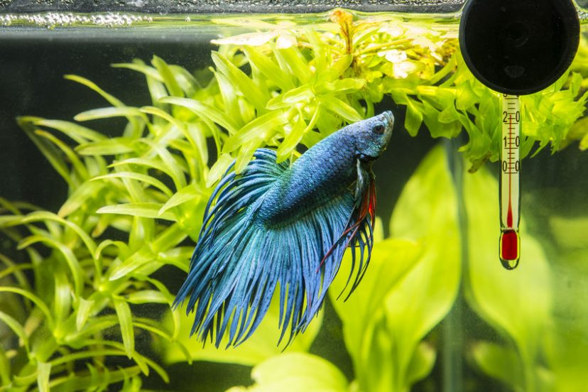 Frequently Asked Questions About Betta Fish Diseases