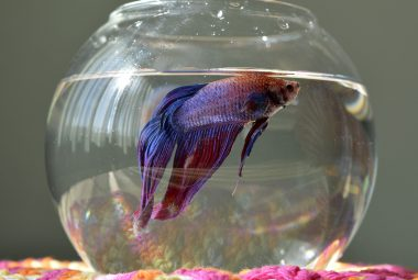 The Right And Wrong Ways To Display Your Betta In A Bowl