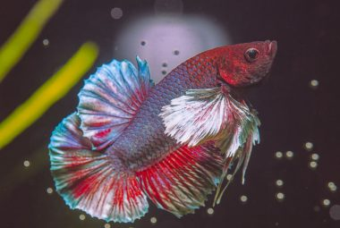 Betta Types – Physical Appearances